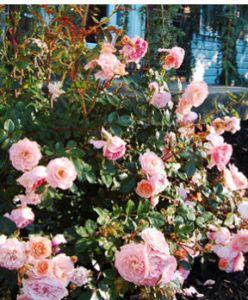 star roses apricot drift