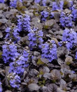 waltersgardens-ajuga-reptansblack-scalloppp15815-copf