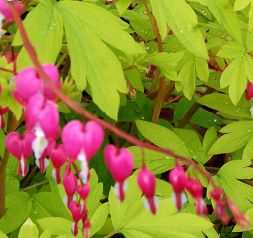 gold heart dicentra garden splendor