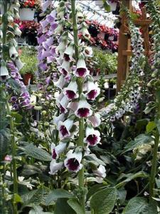 waltersgardens-lo1334-digitalis-purpureapam-s-choice