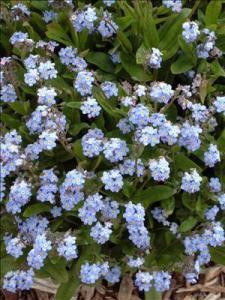 waltersgardens-lo3810-myosotis-sylvaticaroyal-blue-compact