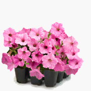 annual flowers gardening albany latham ny