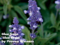 blue sage proven winners