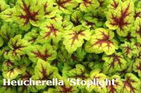 heucherella stoplight garden splendor