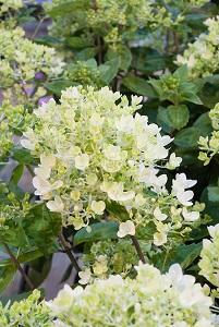 Hydrangea-paniculata-Bombshell