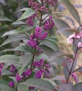 beauty berry proven winners