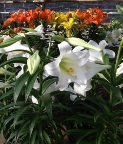 easter lilies faddegons