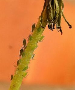 insect aphid