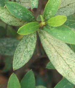 lacebuguniversityflorida