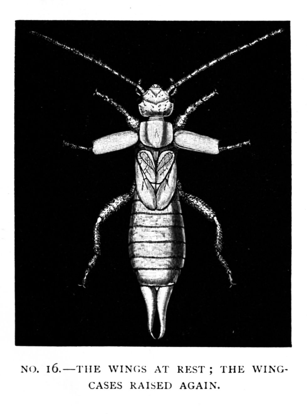 hight resolution of the young earwig however does not stop short at this point when born or hatched from the egg he closely resembles his parents in most respects