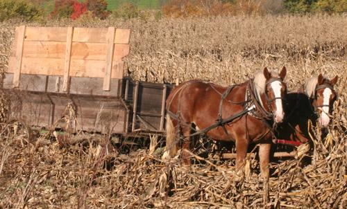 Amish Picking Corn with a Bang Board