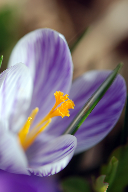 This crocus is actual from in front of our house in Flatbush. ©Frank H. Jump