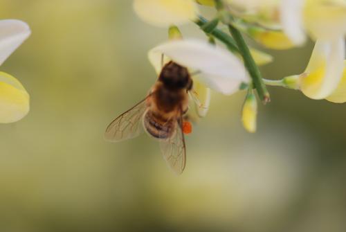 Flatbush Honeybees