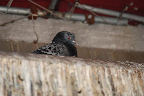 Flatbush Pigeon