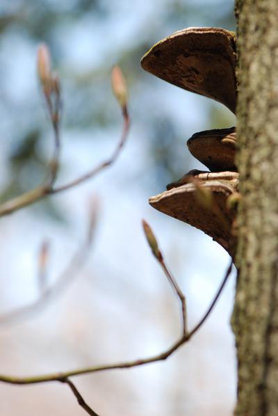 Pocono Maple Buds & Tree Fungus