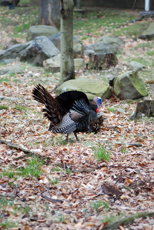 Turkey in Poconos - © Frank H. Jump
