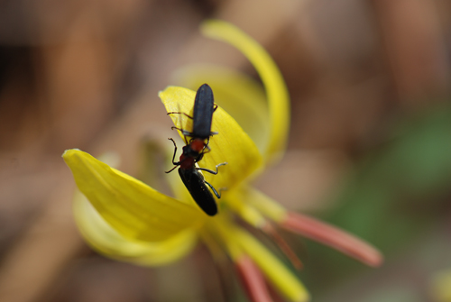 Trout Lily Bugs