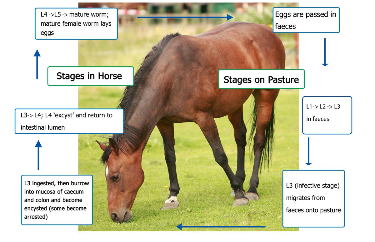 horse gi diagram 4 pole starter solenoid wiring small intestine spine