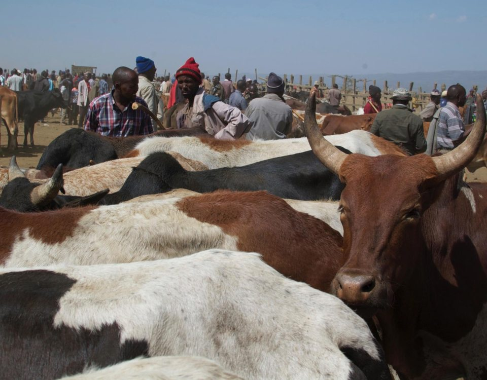 Boosting Livelihoods Through Better Livestock