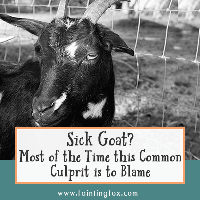 Sick Goat?  Most of the Time this Common Culprit is to Blame