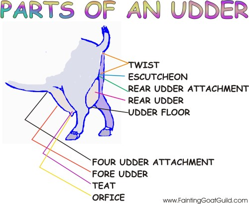 small resolution of click here for a printable copy of the parts of an udder