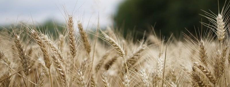 wheat field, wheat, wheat cultivation