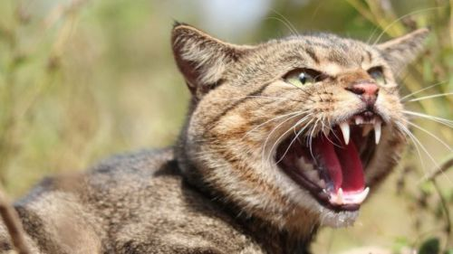 Feral cats are considered the single biggest threat to native wildlife.