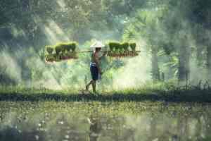 Reisbauer im Reisfeld bei der Arbeit