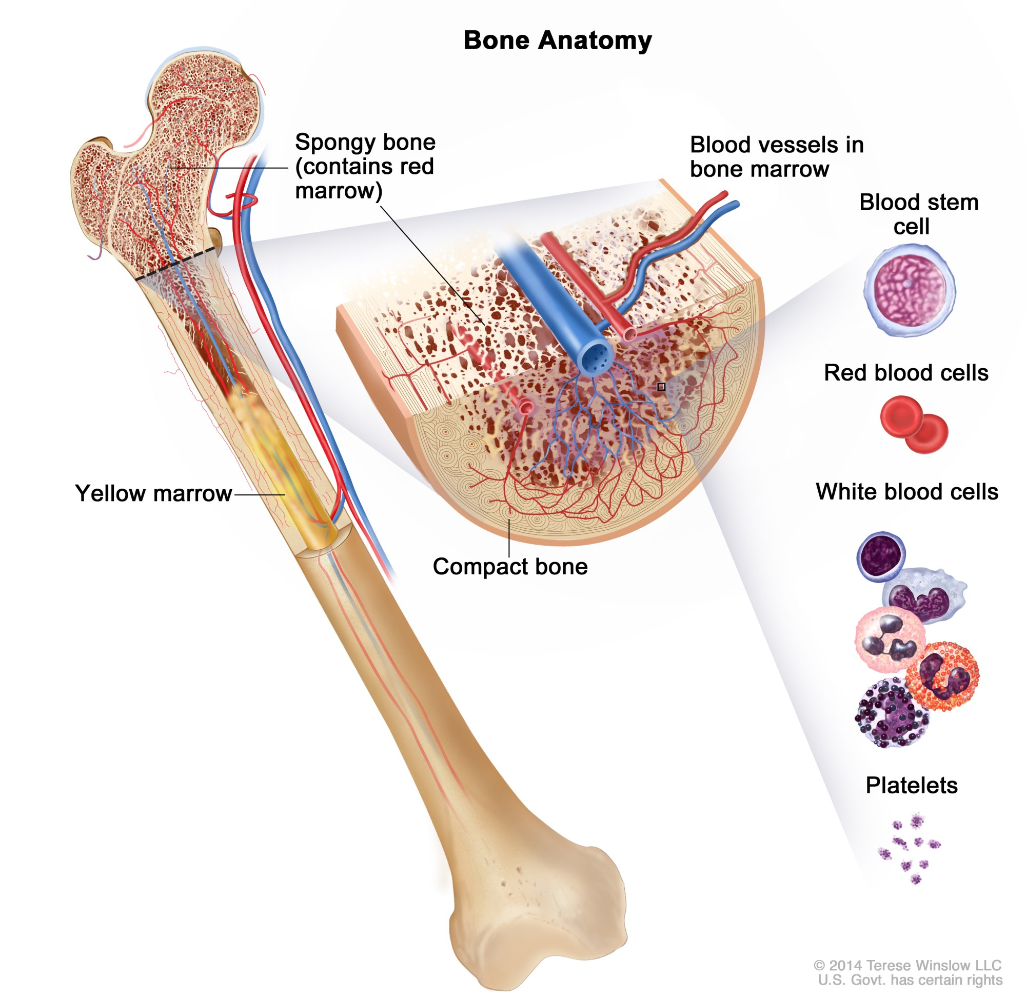 hight resolution of anatomy of the bone drawing shows spongy bone red marrow and yellow marrow