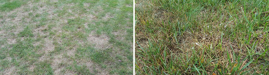 lawn with grey leaf spot and lawn with pythium blight