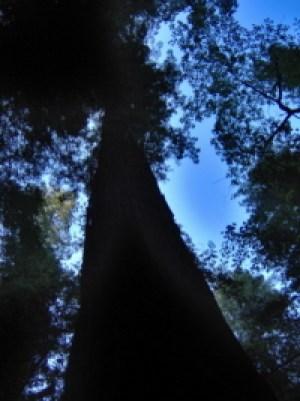redwood aura