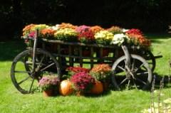fall mums, VT