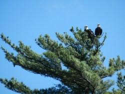 eagles in voyageurs national park