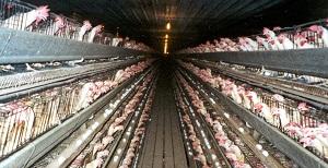 chiken farm
