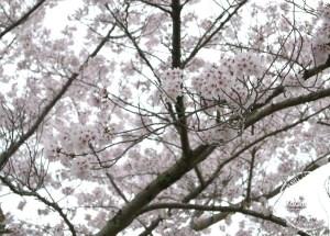 Musim Bunga Sakura di Jepun dan Korea
