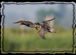 duck hawking peregrine falcon caccia anatra falco pellegrino peregrinus 01c
