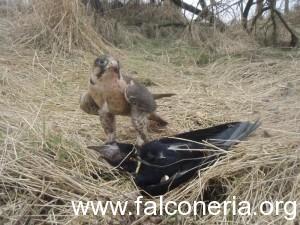 falco su corvo