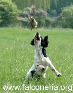Caccia al fagiano con setter inglese in ferma apertura 2011 2012 cane da beccaccie  pernici e coturnici