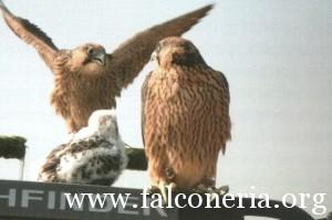 addestramento falconi altani 0008