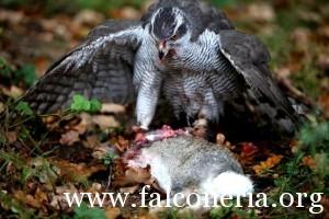 falconeria 10
