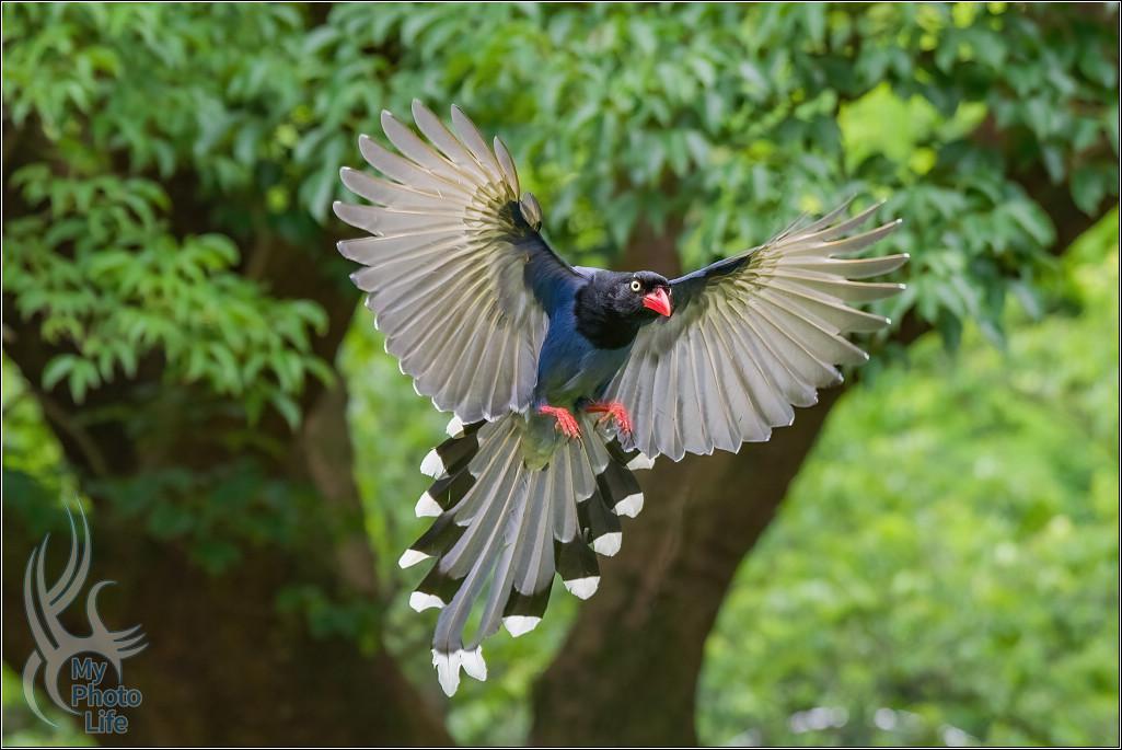 台灣藍鵲飛行版拍攝初體驗4981