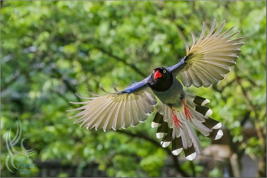 台灣藍鵲飛行版拍攝初體驗7995