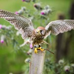 Female Coomon Kestrel Photography