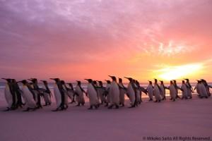 早朝のキングペンギン