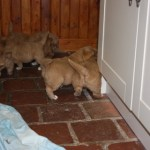 Toller puppies playing