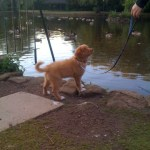 Toller puppy checking out local pond