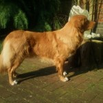 Nova Scotia Duck Tolling Retriever Fallowfen's Star of Pads