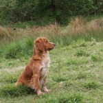 Cocker spaniel now standing at stud in Nottinghamshire.