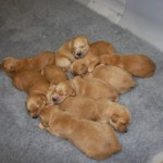 Golden retriever brood.