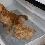 Proud golden retriever mum